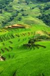 Rice fields near Sapa