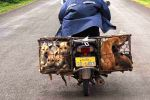 On the road from Champasak. Dogs off to market.