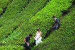 Wedding photos. Cameron Highlands tea plantation.