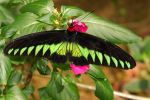 Butterfly of the Cameron Highlands