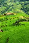 Rice fields, Hmong valley